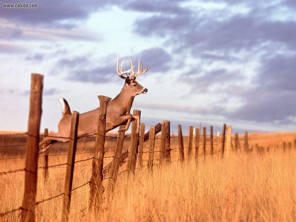 damask-definition-deer-high-whitetail-263889